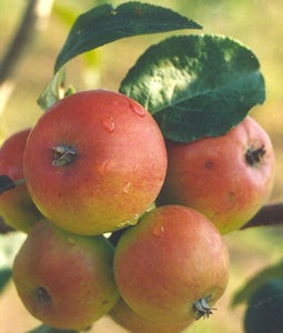 Goodland Apple 10 Gallon Pot