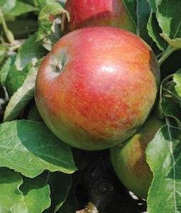 Honeycrisp Apple 7 Gallon Pot