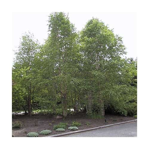 clump paper birch 10 gallon pot