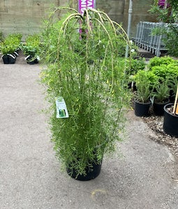 Walkers Weeping Caragana Top Graft 10 Gallon Pot