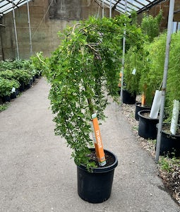 Weeping Caragana 10 Gallon Pot