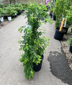 Weeping Caragana Top Graft 7 Gallon Pot
