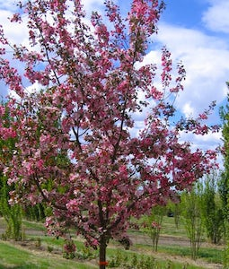 Thunderchild Crabapple 10 Gallon Pot