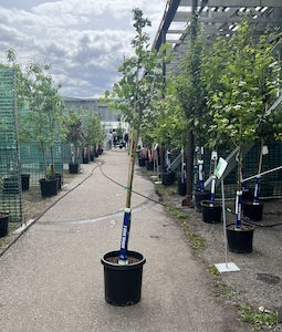 Snowbird Hawthorn 10 Gallon Pot