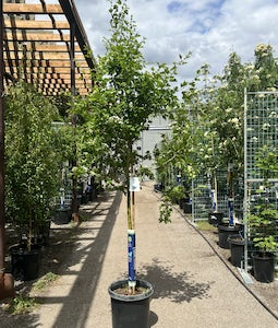 Toba Hawthorn 10 Gallon Pot