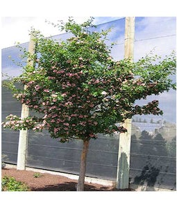 Toba Hawthorn 7 Gallon Pot