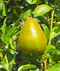 Early Gold Pear 7 Gallon Pot