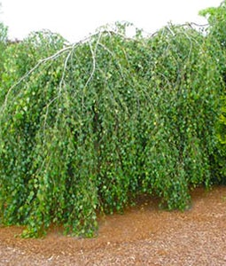 Youngs Weeping Birch Top Graft 10 Gallon Pot