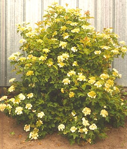 American Highbush Cranberry 2 Gallon Pot
