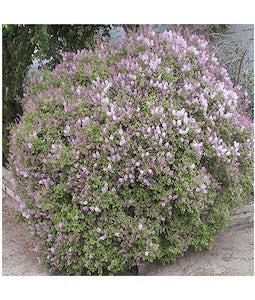 Dwarf Korean Lilac 7 Gallon Pot Top Graft