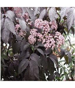 Black Beauty Elder 2 Gallon Pot