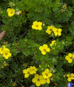 Gold Drop Potentilla 2 Gallon Pot