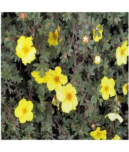 Yellow Gem Potentilla 2 Gallon Pot
