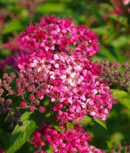 Anthony Waterer Spirea 2 Gallon Pot