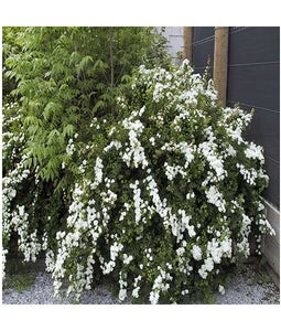 Bridal Wreath Spirea 2 Gallon Pot
