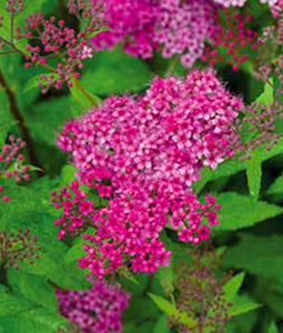 Darts Red Spirea 2 Gallon Pot