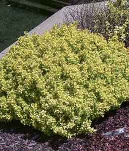 Golden Nugget Barberry 2 Gallon Pot