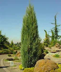 Cologreen Juniper 5 Gallon Pot
