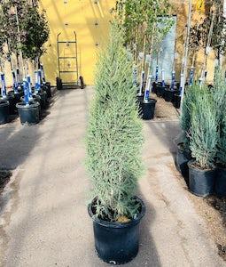Cologreen Juniper 10 Gallon Pot