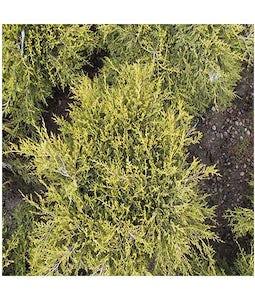 Gold Coast Juniper 5 Gallon Pot