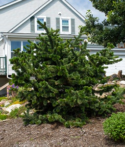 Bristlecone Pine 15 Gallon Pot