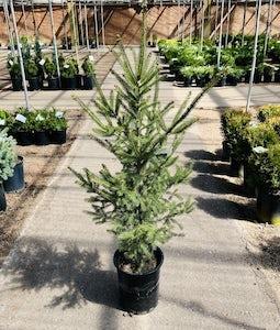 Lodgepole Pine 5 Gallon Pot