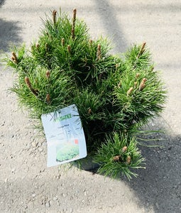Mugo Pine 5 Gallon Pot