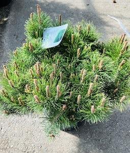 Dwarf Mugo Pine 5 Gallon Pot
