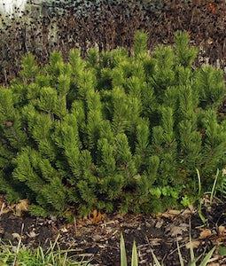 Dwarf Mugo Pine 10 Gallon Pot