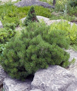 Mops Mugo Pine 5 Gallon Pot