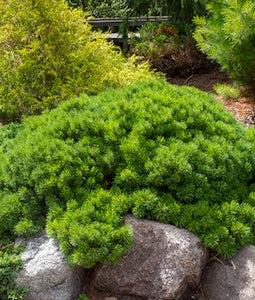 Valley Cushion Mugo Pine 3 Gallon Pot