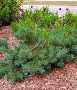 Albyn Prostrate Scotch Pine 3 Gallon Pot