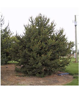 Scotch Pine 5 Gallon Pot