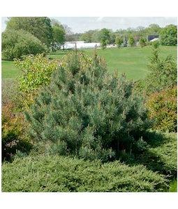 Dwarf Scotch Pine 5 Gallon Pot