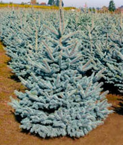 Baby Blue Spruce 2 Gallon Pot