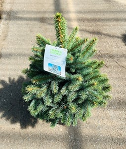 Baby Blue Spruce 5 Gallon Pot