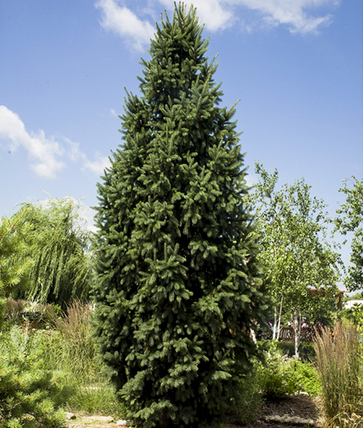 how to grow spruce trees