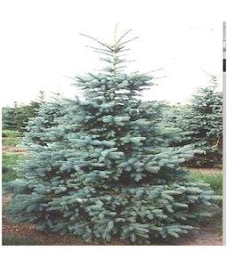 Colorado Spruce 5 Gallon Pot