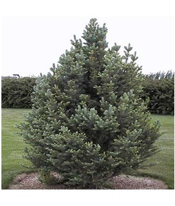 Columnar Spruce 5 Gallon Pot