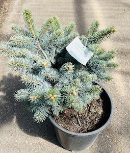 Globe Blue Spruce 5 Gallon Pot
