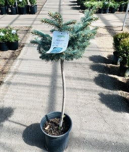 Globe Blue Spruce 5 Gallon Pot