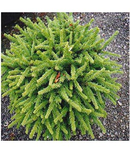 Dwarf Norway Spruce 5 Gallon Pot