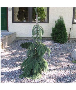 Weeping Norway Spruce 10 Gallon Pot