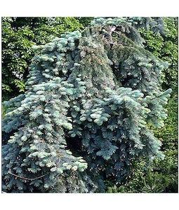 Weeping Spruce Burlap 10 Gallon Pot