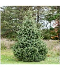 White Spruce 5 Gallon Pot