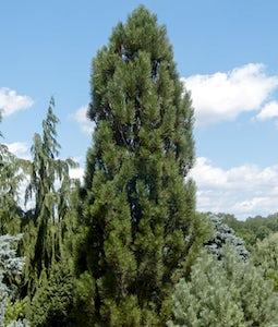 Arnold Sentinel Austrian Pine 5 Gallon Pot