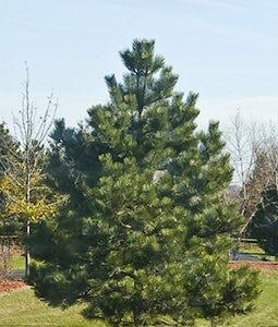 Austrian Pine 5 Gallon Pot
