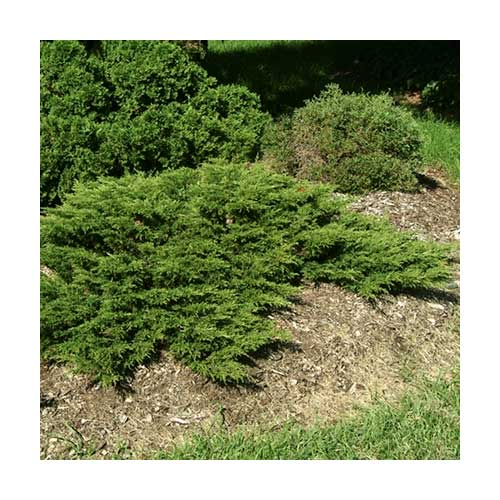 calgary carpet juniper 10 gallon pot