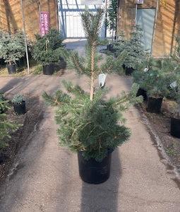 Mountain Pine 10 Gallon Pot