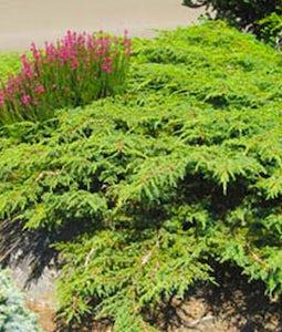 Effusa Juniper 2 Gallon Pot